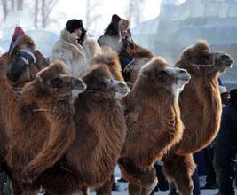 Mongolian camel event