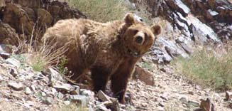 Mongolian wild animal