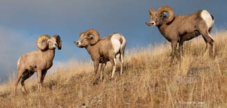 Mongolian wild animals
